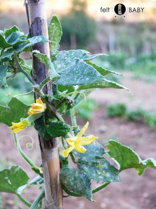 flores amarillas de calabacín
